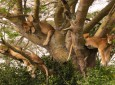 tree climbing lions in Queen Elizabeth National Park