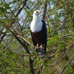 african-fishing-eagle
